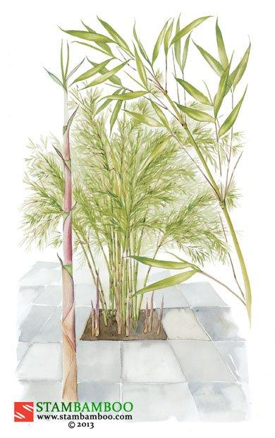 Fargesia rufa – Stambamboo – Ireland\'s No.1 For Bamboo online