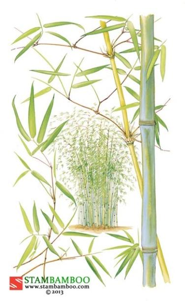 Thamnocalamus crassinodus 'Kew Beauty'
