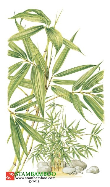 Sasa kurilensis 'Shimofuri'