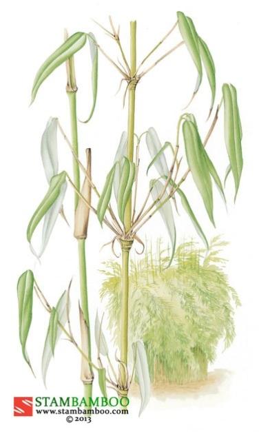 Fargesia murieliae 'Jumbo'
