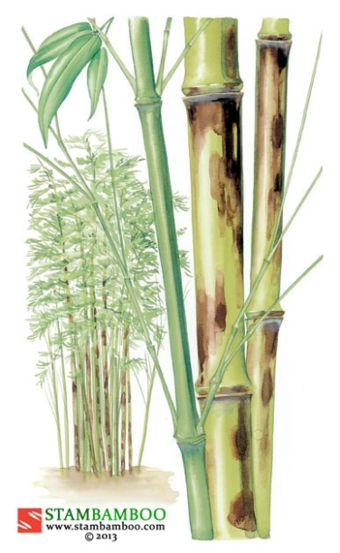 Phyllostachys bambusoides f. lacrima-deae