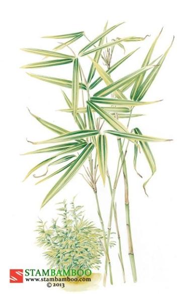 Pleioblastus shibuyanus 'Tsuboi'